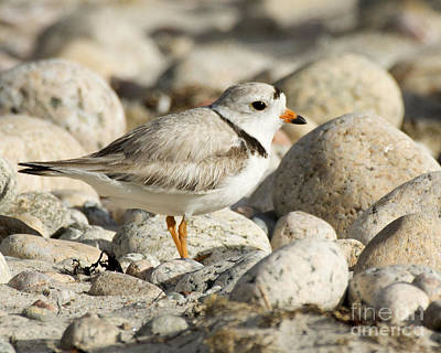 Photograph - Piping Plover Adult by Deborah Smith