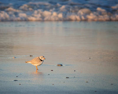 Photograph - Piping Plover At Sunset by Bill Wakeley
