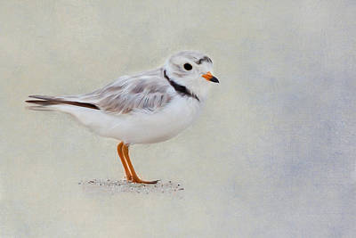 Digital Art - Piping Plover by Bill Wakeley