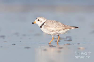 Photograph - Piping Plover II by Clarence Holmes
