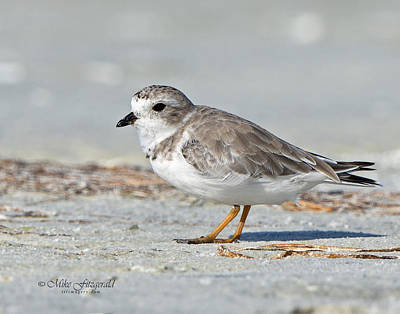 Photograph - Piping Plover by Mike Fitzgerald