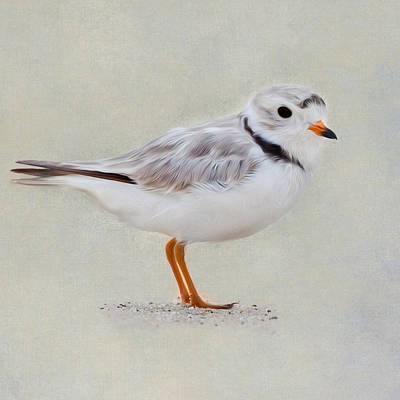 Square Format Photograph - Piping Plover Square by Bill Wakeley