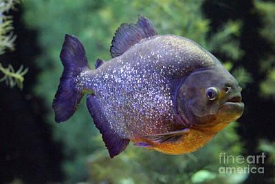 Photograph - Piranha  by Alycia Christine