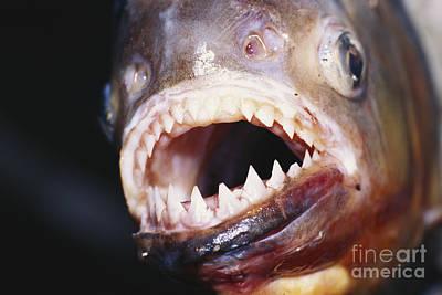 Photograph - Piranha Teeth by Jany Sauvanet