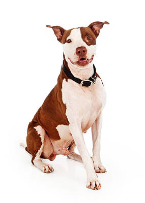 Pit Bull Dog With Happy Expression Art Print by Susan Schmitz
