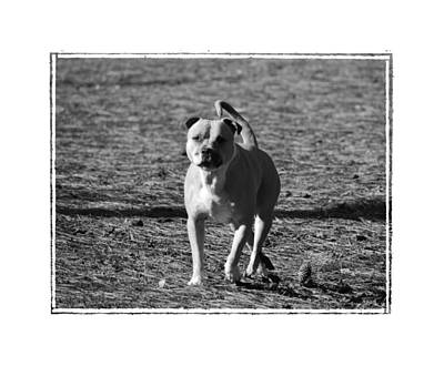 Photograph - Pitbull Bw by Maria Urso