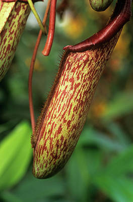 Maxima Wall Art - Photograph - Pitcher Plant by Anthony Cooper/science Photo Library