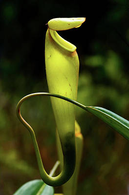 Pitcher Plant Photograph - Pitcher Plant Nepenthes Madagascarn by Andres Morya Hinojosa