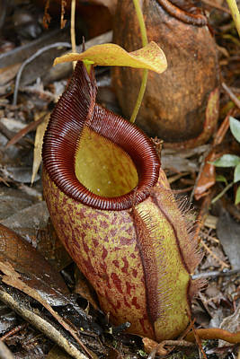 Pitcher Plant Photograph - Pitcher Plant Palawan Island Philippines by Ch'ien Lee