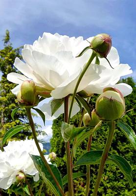 Photograph - Pivoines Blanches by Will Borden