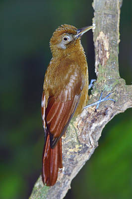 Army Ant Photograph - Plain-brown Woodcreeper by Tony Beck