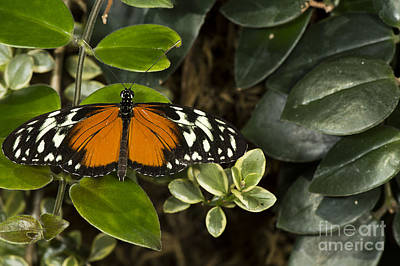 Photograph - Plain Tiger by JT Lewis