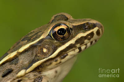 Photograph - Plains Leopard Frog by Kenneth M Highfill