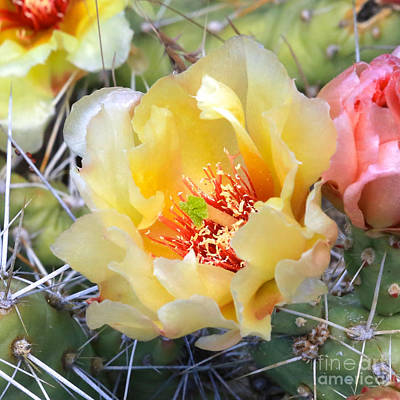 Photograph - Plains Prickly Pear Flower by Carol Groenen