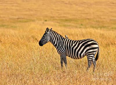 Zebra Photograph - Plains Zebra With Wattled Starling by Liz Leyden