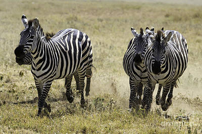 Photograph - Plains Zebras Running by Chris Scroggins