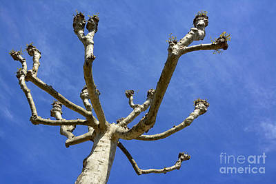 Bare Trees Photograph - Plane Tree by Bernard Jaubert