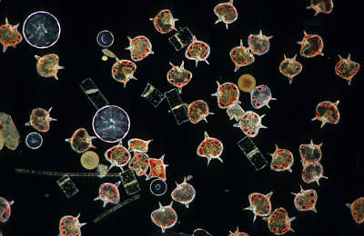 D.p Photograph - Plankton Dinoflagellates And Diatoms X20 by D P Wilson