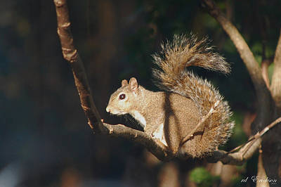 Photograph - Plans - Gray Squirrel by rd Erickson