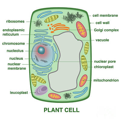 Photograph - Plant Cell by Gwen Shockey