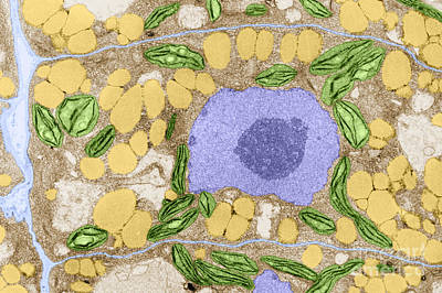 Photograph - Plant Cell Tem by Biology Pics
