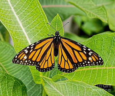 Photograph - Plant Milkweed And Save The Monarch Butterfly by Barbara McMahon