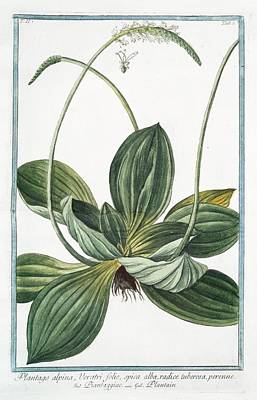 Plantago Alpina Art Print by Rare Book Division/new York Public Library