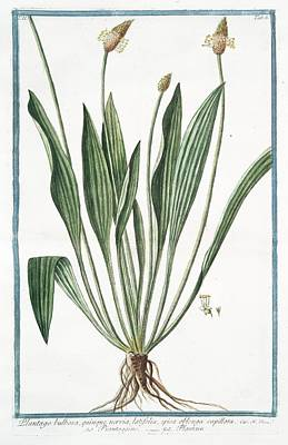 Plantago Bulbosa Art Print by Rare Book Division/new York Public Library