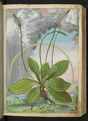 Plantain (plantago Sp.) Art Print by British Library