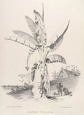Plantain Photograph - Plantain Tree by British Library