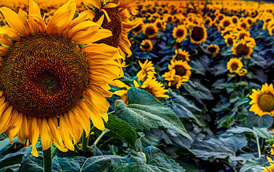 Planted Sunshine  Print by William Huchton