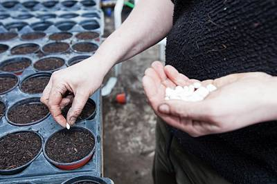 Local Food Photograph - Planting Bean Seeds by Ashley Cooper
