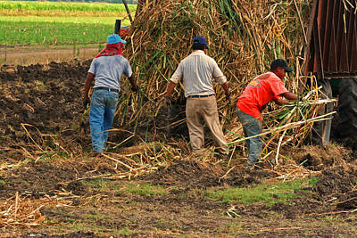 Photograph - Planting Sugarcane By Hand In Louisianai by Ronald Olivier