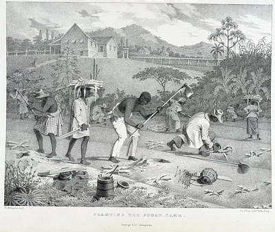 Slaves Photograph - Planting The Sugar Cane by British Library