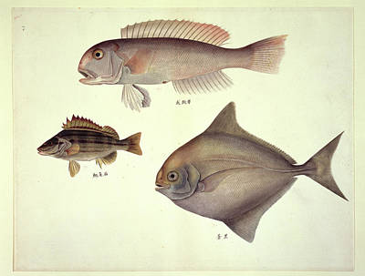 Plate 137: John Reeves Collection Art Print by Natural History Museum, London