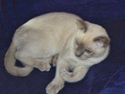 Tonkinese Cat Photograph - Platnium Tonkinese by Linda Phelps