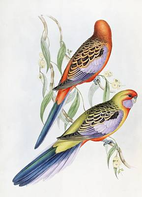 Parakeet Painting - Platycercus Adelaidae From The Birds Of Australia by John Gould