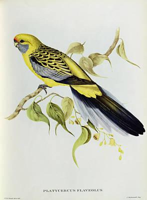 Animal Lover Drawing - Platycercus Flaveolus by John Gould