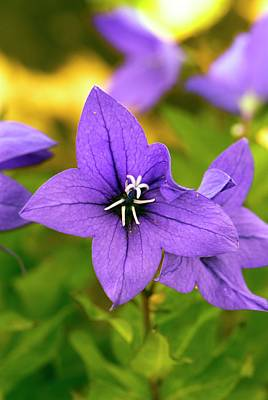 Balloon Flower Photograph - Platycodon Grandiflorus 'astra Blue' by Adrian Thomas