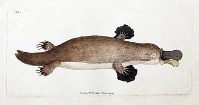Platypus Anatomy (shaw) Art Print