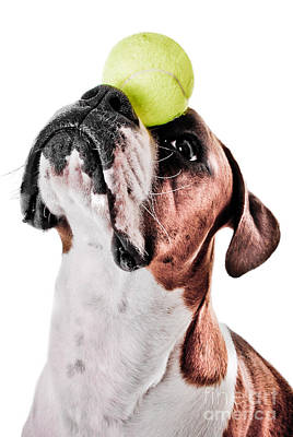White Boxer Dog Photograph - Play Ball With Me by Jt PhotoDesign