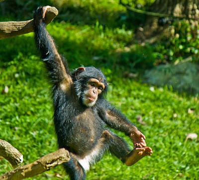Photograph - Playful Chimp by Jonny D