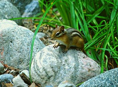 Photograph - Playful Chipmunk by Gary Wonning