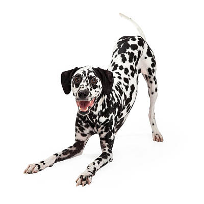 Dalmatian Photograph - Playful Dalmatian Dog Bowing by Susan Schmitz