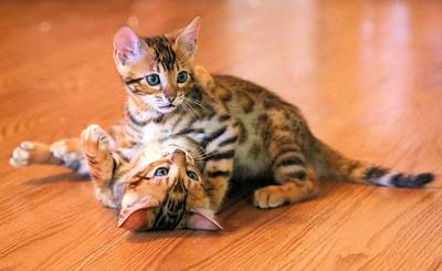 Photograph - Playful Kittens by Jane Girardot