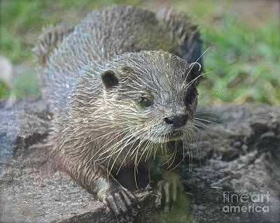 Photograph - Playful Otter by Carol  Bradley