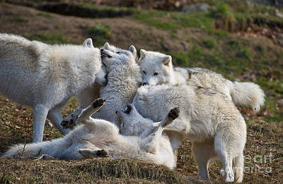 Art Print featuring the photograph Playful Pack by Wolves Only