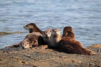 Playful River Otter Family  Art Print