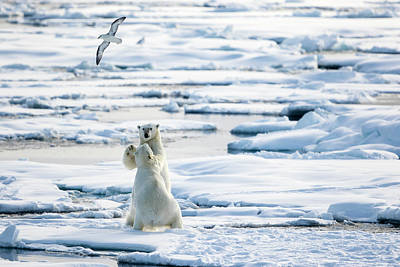 Arctic Air Photograph - Playing On The Pack Ice, Ursus by Raffi Maghdessian