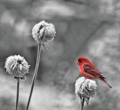 Red Finch Photograph - Please God I Need Spring by Diane Schuster
